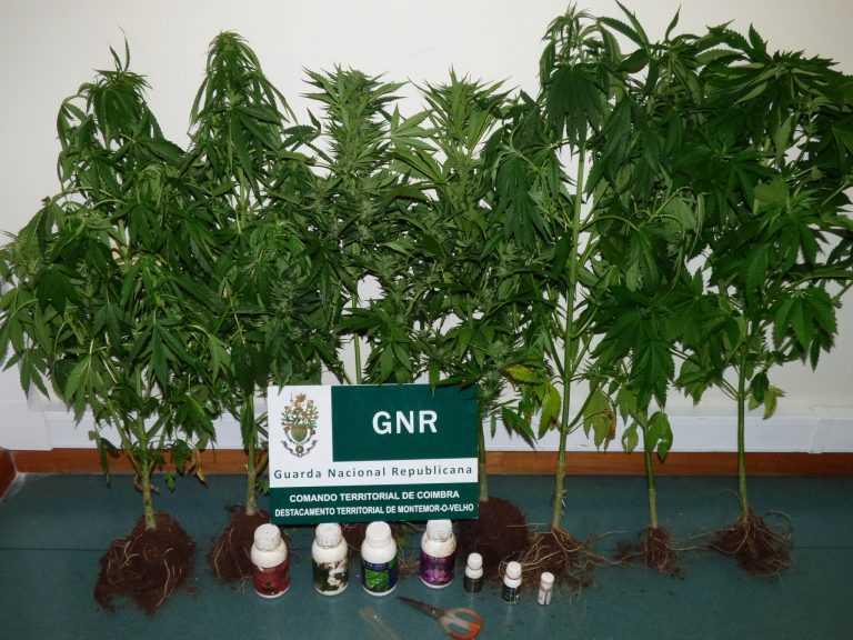Jornal Campeão: GNR deteve três pessoas por cultivo e tráfico de droga