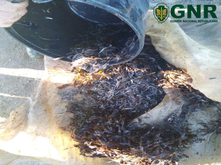 Jornal Campeão: GNR apreende mais de cinco quilos de meixão nos rios Mondego e Alcoa