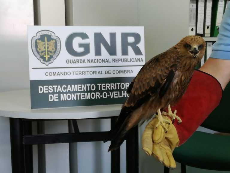 Jornal Campeão: Alfarelos: Cidadão entregou à GNR ave de rapina ferida