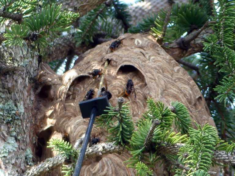 Resultado de imagem para ninhos de Vespa Velutina
