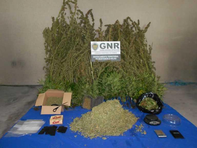 Jornal Campeão: Montemor-o-Velho: Detido na posse de 7 634 doses de cannabis