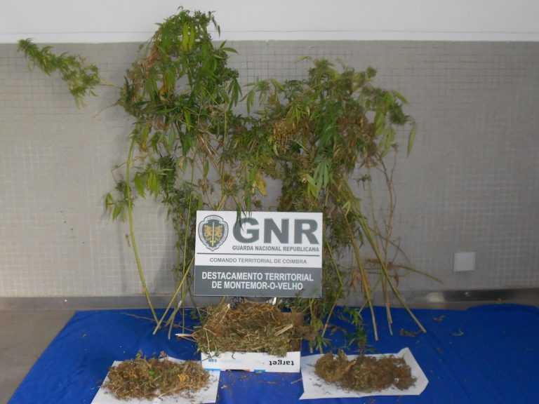 Jornal Campeão: Figueira da Foz: Detido por cultivo e tráfico de cannabis