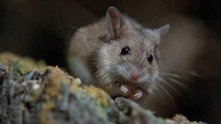 Jornal Campeão: Praga de ratos nas zonas ardidas obriga autarquias a reforço de medidas