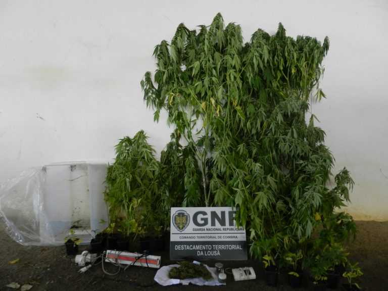 Jornal Campeão: Arganil: GNR deteve homem por posse e cultivo de cannabis
