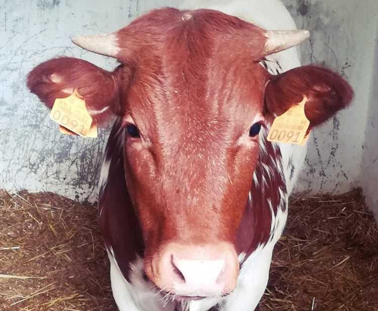 Jornal Campeão: Vaca Mertolenga é espécie do mês no Parque Biológico da Serra da Lousã