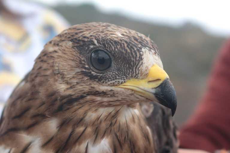 Jornal Campeão: Coimbra: Falcões vão controlar pombos no Mercado de D. Pedro V