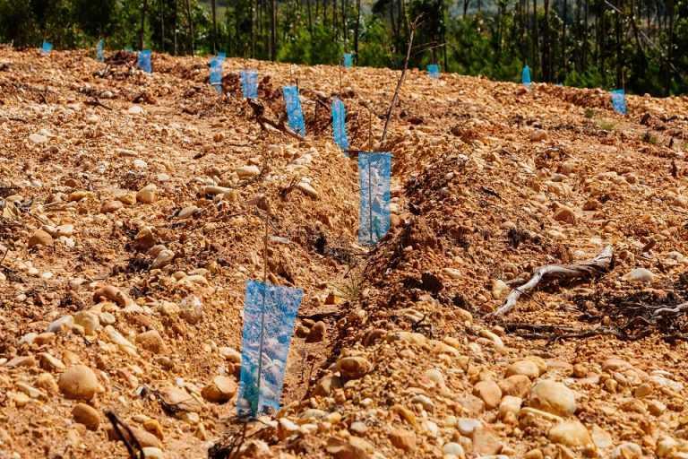 Jornal Campeão: Figueira da Foz: REN planta 2 000 árvores na zona do Paião