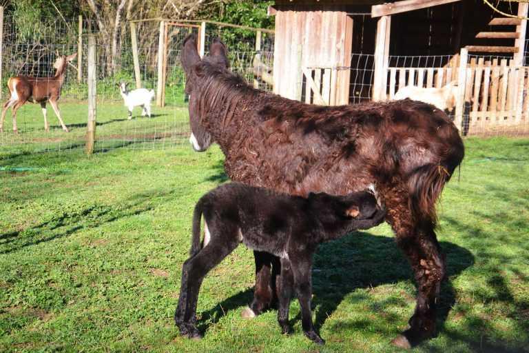 Jornal Campeão: Burro bebé é o animal de Fevereiro do Parque Biológico de Miranda