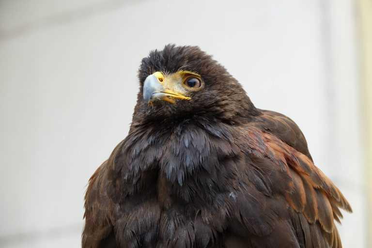 Resultado de imagem para Em Coimbra, são os falcões que afastam pombos e gaivotas da cidade