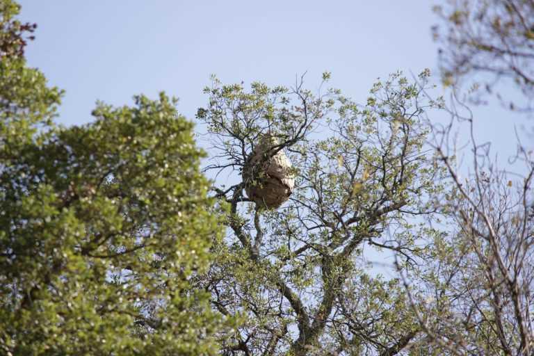 Jornal Campeão: Foram destruídos 219 ninhos de vespa asiática na Figueira da Foz em 2020