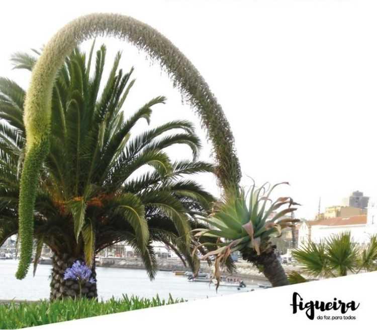 Jornal Campeão: Câmara da Figueira da Foz abate cinco palmeiras mortas