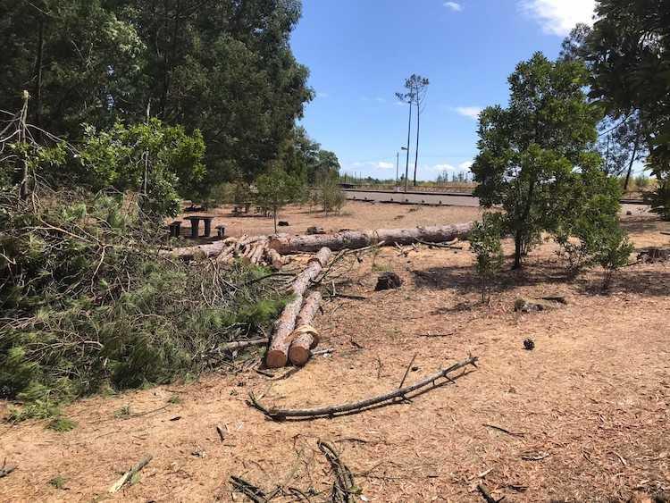 Jornal Campeão: Cantanhede questiona ICNF sobre abate de pinheiros saudáveis
