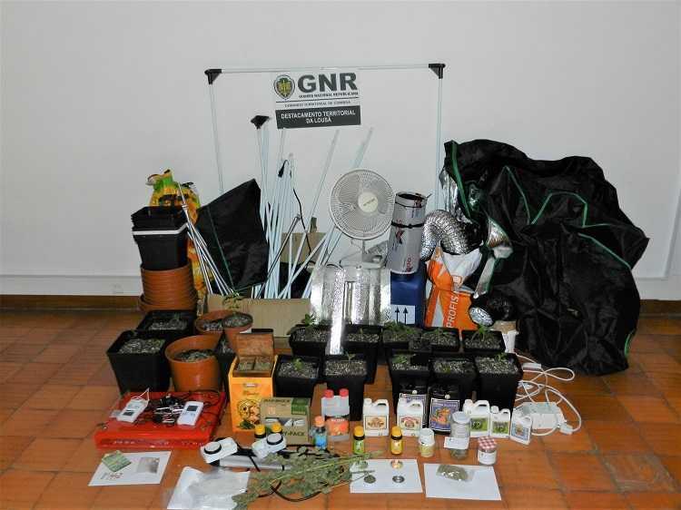 Jornal Campeão: GNR deteve um homem que tinha estufas de cannabis na Lousã