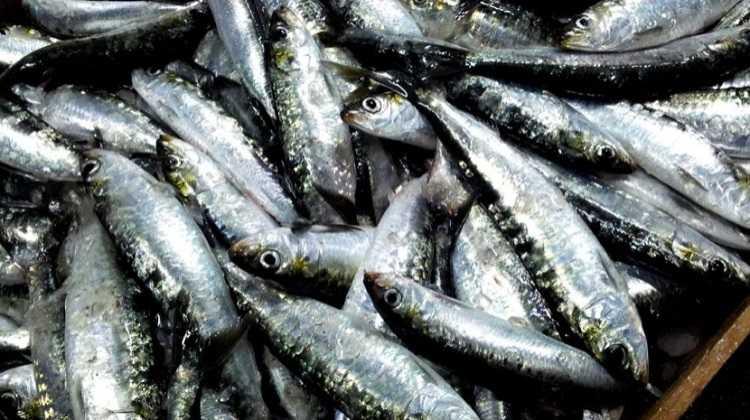 Jornal Campeão: Pesca da sardinha proibida a partir de sábado