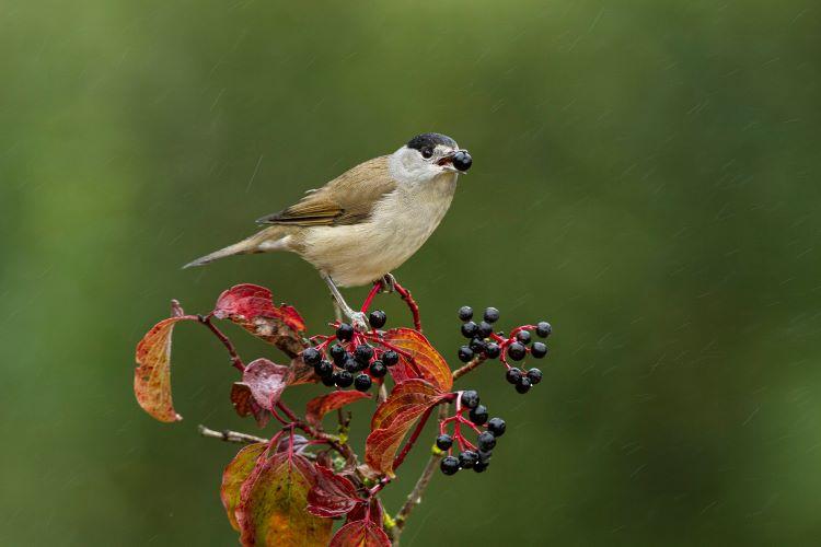 Jornal Campeão: Aves migradoras não conseguem ajudar as plantas a fugir das alterações climáticas